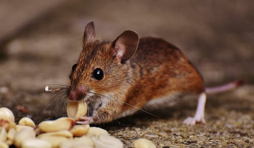 Rodents Removal in San Antonio TX